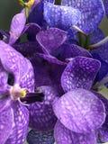 Fiore tailandese dell'orchidea Fotografie Stock