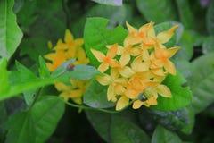 Fiore tailandese: Fiore della punta che è astuto significato immagini stock