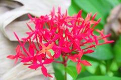 Fiore tailandese: Fiore della punta che è cervello significato di intelligenza o astuto immagini stock