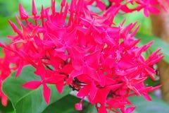 Fiore tailandese: Fiore della punta che è cervello significato di intelligenza o astuto fotografie stock