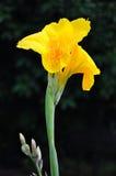 Fiore tailandese di canna Fotografie Stock