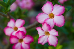 Fiore tailandese di stile al colore rosa fotografie stock