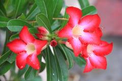 Fiore tailandese: Il Adenium o il dessert Rosa è coltivato come pianta da appartamento nelle regioni temperate fotografie stock libere da diritti