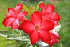 Fiore tailandese: Il Adenium o il dessert Rosa è coltivato come pianta da appartamento nelle regioni temperate fotografia stock