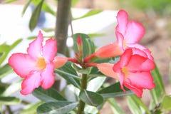 Fiore tailandese: Il Adenium o il dessert Rosa è coltivato come pianta da appartamento nelle regioni temperate immagine stock
