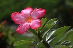 Fiore tailandese: Il Adenium o il dessert Rosa è coltivato come pianta da appartamento nelle regioni temperate immagini stock