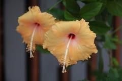 Fiore tailandese: Il hibiscus rosa sinensis è specie di ibischi tropicali, una pianta di fioritura nella tribù di Hibisceae della fotografie stock