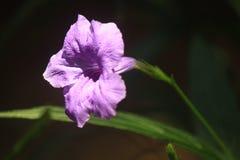 Fiore tailandese: Il tuberosa di Ruellia è specie di pianta di fioritura nella famiglia di acanthaceae fotografia stock