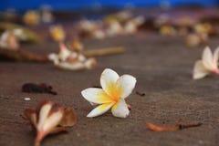 Fiore tailandese: La plumeria è un genere delle angiosperme nelle apocinacee, apocynaceae La maggior parte delle specie sono arbu fotografia stock