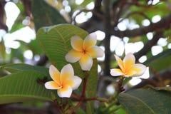 Fiore tailandese: La plumeria è un genere delle angiosperme nelle apocinacee, apocynaceae La maggior parte delle specie sono arbu fotografie stock