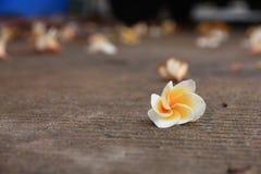 Fiore tailandese: La plumeria è un genere delle angiosperme nelle apocinacee, apocynaceae La maggior parte delle specie sono arbu immagine stock libera da diritti