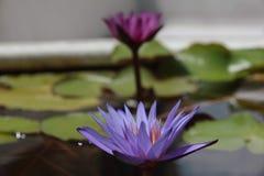 Fiore tailandese: Lotus Flower o il nelumbo nucifera è una di due specie extant di pianta acquatica immagine stock libera da diritti