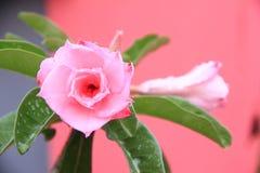 Fiore tailandese: Rosa è una pianta di fioritura perenne legnosa del genere Rosa, nelle rosacee, o il fiore che sopportano immagini stock