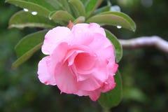 Fiore tailandese: Rosa è una pianta di fioritura perenne legnosa del genere Rosa, nelle rosacee, o il fiore che sopportano fotografia stock