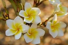 Fiore in Tailandia Immagini Stock