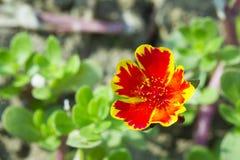Fiore in Tailandia Immagini Stock Libere da Diritti