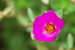 Fiore in Tailandia Fotografia Stock Libera da Diritti