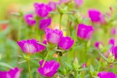 Fiore in Tailandia Immagine Stock