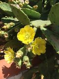 Fiore tenero del cactus Fotografia Stock