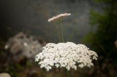 Fiore tipico della regione di Asturie, Spagna fotografie stock libere da diritti