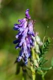 Fiore trapuntato della veccia Fotografia Stock