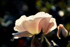 Fiore traslucido rosa Immagini Stock Libere da Diritti