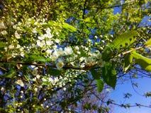 fiore treespring della Uccello-ciliegia Fotografie Stock