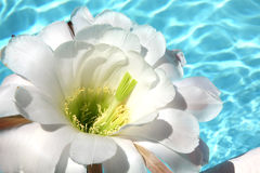 Fiore tropicale bianco sulla piscina Fotografie Stock