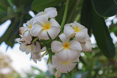 Fiore tropicale del frangipane bianco fotografia stock libera da diritti