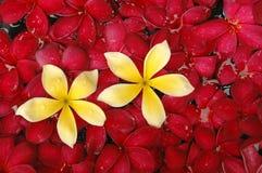 Fiore tropicale del frangipani fotografie stock