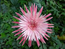 Fiore tropicale del protea di re Fotografia Stock Libera da Diritti