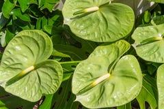 Fiore tropicale dell'anturio verde Fotografie Stock