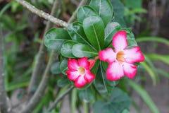 Fiore tropicale della rosa del deserto su un giglio di impala o dell'albero bello Fotografie Stock