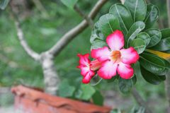 Fiore tropicale della rosa del deserto su un giglio di impala o dell'albero bello Fotografia Stock