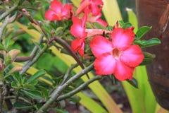 Fiore tropicale della rosa del deserto su un giglio di impala o dell'albero bello Immagine Stock Libera da Diritti