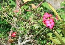 Fiore tropicale della rosa del deserto su un giglio di impala o dell'albero bello Fotografie Stock Libere da Diritti