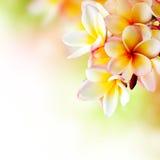 Fiore tropicale della stazione termale del Frangipani Fotografie Stock