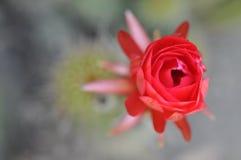 Fiore tropicale di fioritura di California Immagini Stock Libere da Diritti