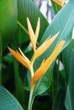Fiore tropicale Heliconia fotografie stock