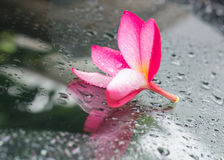 Fiore tropicale, Leelavadee Fotografia Stock Libera da Diritti