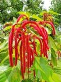 Fiore tropicale nella Repubblica dominicana fotografia stock