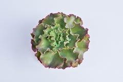 Fiore tropicale, unico, esotico, modellato Wi ondulati verdi delle foglie fotografie stock