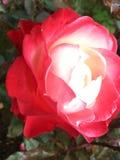 Fiore in un POT Fotografia Stock