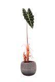 Fiore in un sanderiana di Alocasia del vaso Immagine Stock Libera da Diritti