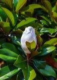 Fiore Unblown della magnolia Fotografia Stock Libera da Diritti