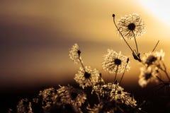 Fiore vago nel tramonto Immagini Stock