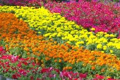 Fiore variopinto Fotografia Stock