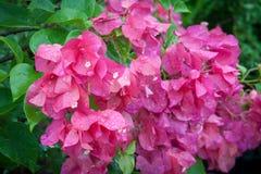 Fiore variopinto con acqua di goccia Fotografie Stock
