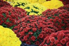 Fiore variopinto del crisantemo sul mercato degli agricoltori Immagini Stock