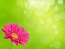 Fiore variopinto del gerber Fotografie Stock